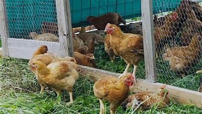 Animals Chicken Giphy Chickens Aspca Farm Gifs