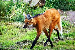 Maned Wolf by Riphath on DeviantArt