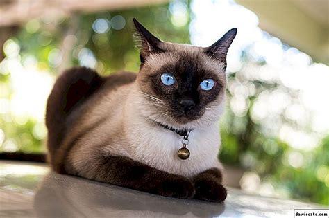 🐈 Vislielākās kaķu šķirnes - TOP 20