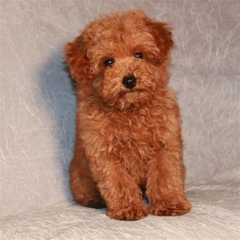 do hypoallergenic dogs still shed poodles are considered to be hypoallergenic dogs meaning