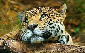 Leopard daydreaming Wallpaper Big Cats Animals Wallpapers ...
