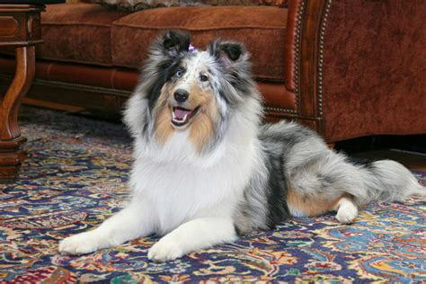best area rugs for pets why should rugs and carpets be cleaned regularly with pets