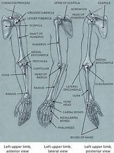 Bones Of The Upper Limb U2014three Views