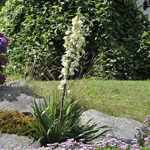 Plantes Et Jardin : yucca filamenteux plantes et jardins ~ Melissatoandfro.com Idées de Décoration