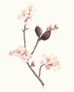 Almond Drawing | www.imgkid.com - The Image Kid Has It!