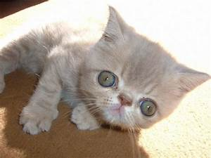 Exotic Shorthair Wallpapers HD Download