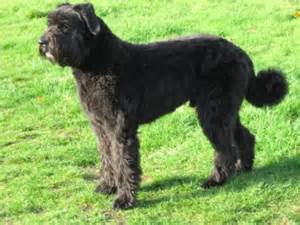 Big Non Hypoallergenic Dogs by Bouvier Des Flandres Caract 232 Re 233 Ducation Et Alimentation