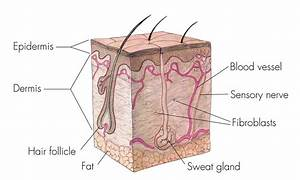 The Integumentary System  Lesson 0384