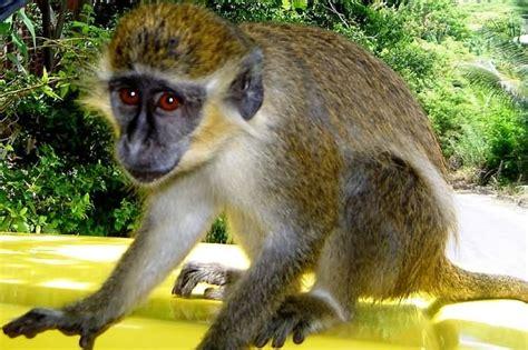 O Leme - Imagens de Seres Vivos > Mamíferos > Primatas