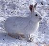 Snowshoe hare - Wikipedia