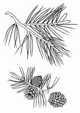 Pine Coloring Pages Needle Template Coloringtop sketch template