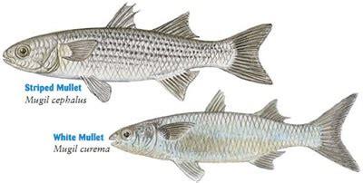 fish identification mullet