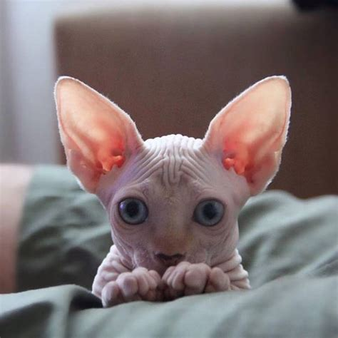 Sphynx Cat  The Hairless Lovable And Adorable Feline I