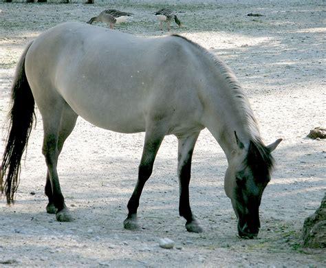 tarpan horse horses european breeds zebras stuff rescue native