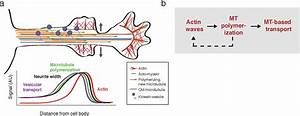 Waves Of Actin And Microtubule Polymerization Drive