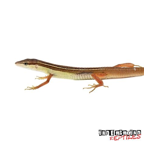tailed lizard long tailed grass lizards for sale underground reptiles
