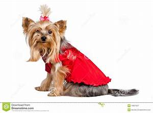 Yorkshire Terrier Dog In Red Clothes Royalty Free Stock ...