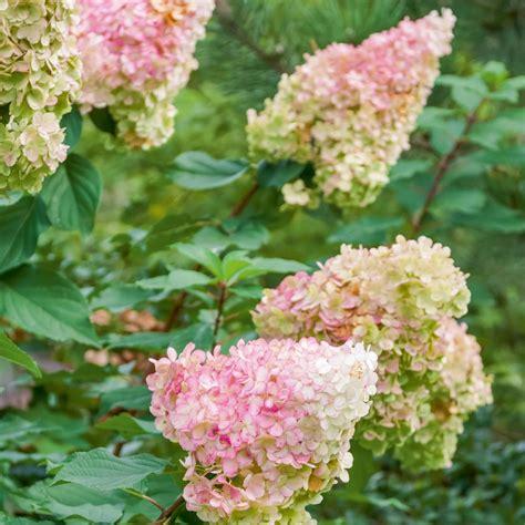 hortensia paniculata vanille fraise 174 renhy plantes et jardins