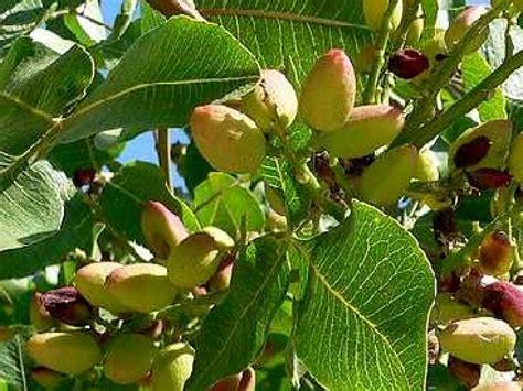 jeux de cuisine de 2012 le pistachier un arbuste méditerranéen