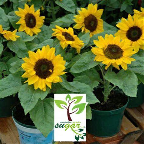 jual tanaman jadi bunga matahari mini import bunga cabang