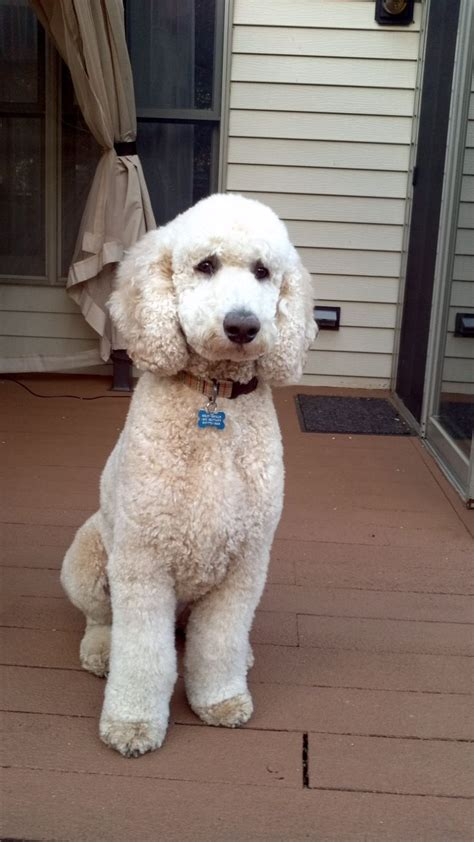 standard poodle bosley  love  cut simple puppy clip