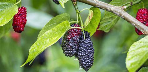 mulberry leaf extract dnj powder deoxynojirimycincas