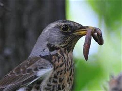 allencentre junior birds