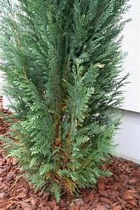 Zypresse Wird Braun : zypressen und thuja smaragd werden braun tipps und ~ Lizthompson.info Haus und Dekorationen