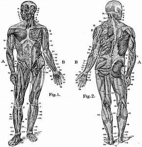 Muscle Chart  U0026 Diagram Of The Human Body