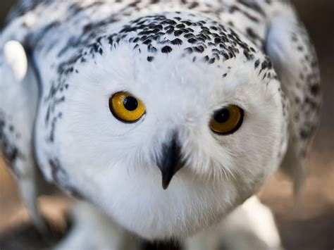 Owl Wallpapers by Hd Snowy Owl Wallpapers Animals Wiki
