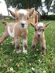 Cutest baby goats & lambs ever   funny bits