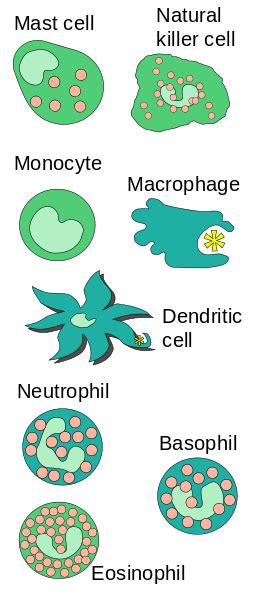difference  mast cell  basophil mast cell
