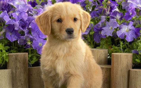 facts about golden retriever dogs miniature golden retriever 24 vital facts and images