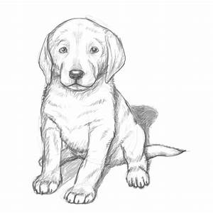 Lab Dog Drawing How To Draw Puppy - Litle Pups