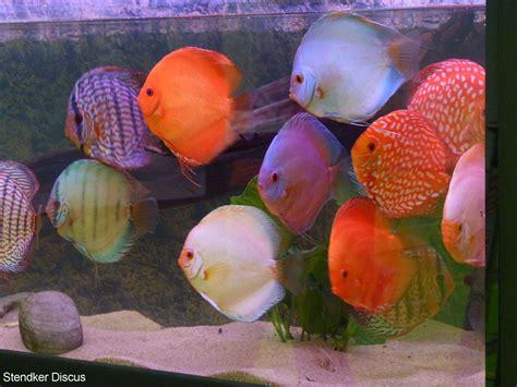 les plus beaux aquarium de top 10 des plus beaux poissons d eau douce maganimal