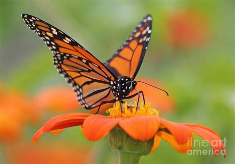 monarch butterfly macro photograph  jack schultz