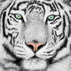 White Tiger Face Images | www.imgkid.com - The Image Kid ...