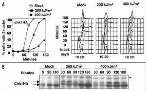 Figure 4  Effects Of Uva Radiation On Chk1ha Cells