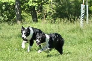 Running Dogs Border Collie