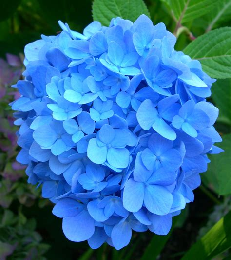 blue hydrangea blues on pinterest blue roses blue flowers and midnight blue
