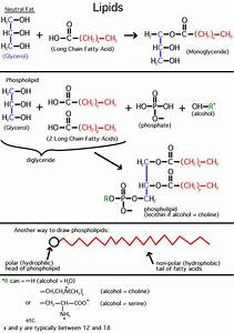 A Major Class Of Lipids Are The Fatty Acids  Long Straight