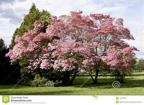 baum mit rosa blüten rosa bl 252 ht baum fr 252 hling stockbild bild bunt baum 14076921