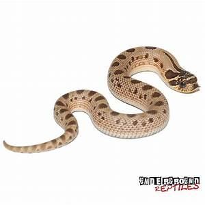 Baby Anaconda Hognose Snake - Underground Reptiles