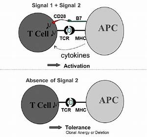 1  Two Signal Model Of T Cell Activation  Two Signals Are