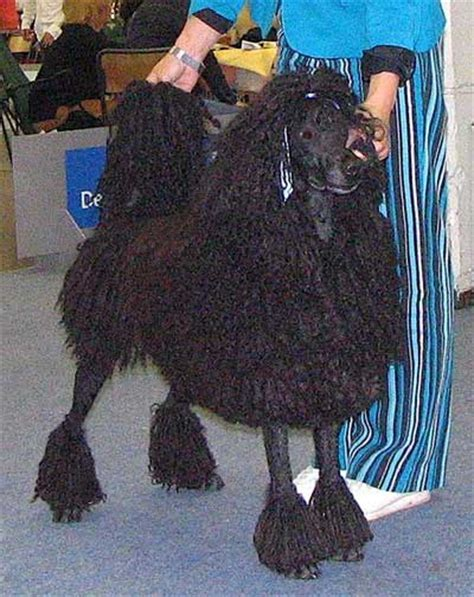 When Is A Standard Poodle full grown
