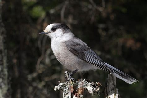 the grey what outcry as grey jay named canada s