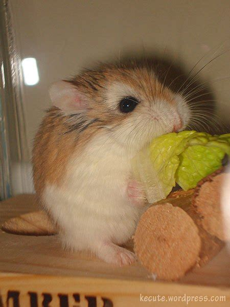 robo cuisine manolo hamster