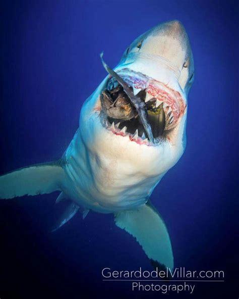 tag  shark  female sea turtles