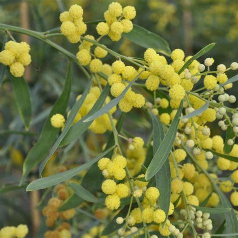 mimosa des 4 saisons lisette plantes et jardins