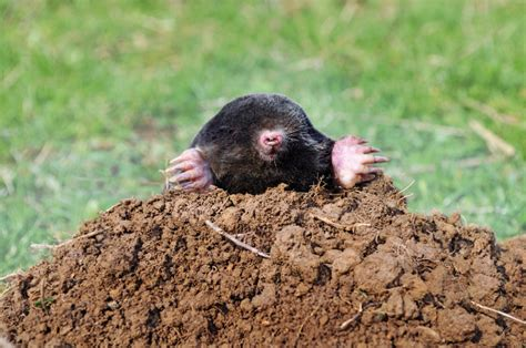 how to kill a mole how to get rid of moles nature s defensenature s defense